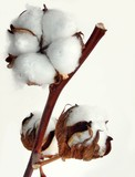 cotton plant with white seed-vessels poster