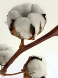 cotton plant branch and white fluffy seed-vessels poster