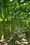 inside the corn stalk rows poster