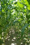 corn stalk rows poster