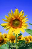 Fototapeta Kwiaty natura niebo słońce