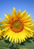 Fototapeta Kwiaty słonecznik zielony błękitne niebo niebieski
