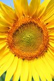 Fototapeta Kwiaty rolnictwo natura niebo błękitne niebo