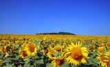 Fototapeta Kwiaty niebieski zielony