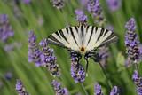 papillon violet poster