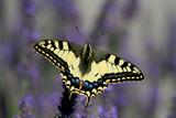 papillon sur fond violet poster