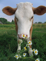 the cow and daisywheels.