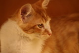 djuke,cat,kitten,cute,tabby,orange,precious,animal poster