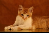 the bug,cat,feline,orange tabby,orange,tabby,cute, poster