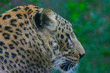 jaguar,cat,feline,mammal,animal,nature,lowry park, poster
