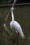 snowy egret,egret,bird,animal,nature,lowrey park,f poster
