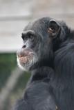 chimpanzee,chimp,ape,primate, poster