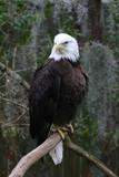 eagle,bald eagle,beak,natural,attitude,tampa,flori poster