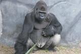 rumplestilkin,gorilla,silverback,ape,primate,anima poster