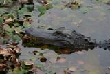alligator,gator,paynes prairie,gainesville,florida poster