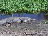 alligator,gator,gators,paynes prairie,gainesville, poster