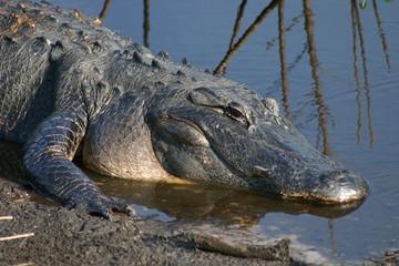 alligator,gator,paynes prairie,gainesville,florida
