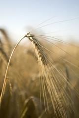 epi de blé 2