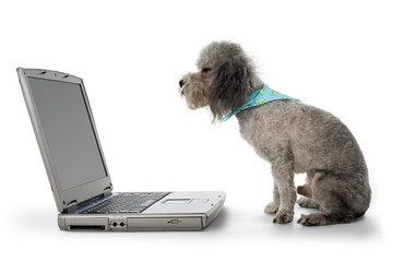 poodle and laptop