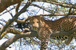 Leinwandbild Motiv leopard entspannt sich auf einem baum