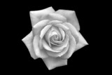 rose with droplets of water poster
