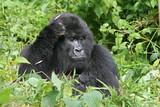 Fototapety nachdenkliches gorilla weibchen
