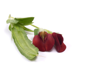 exotic bean and red flowers