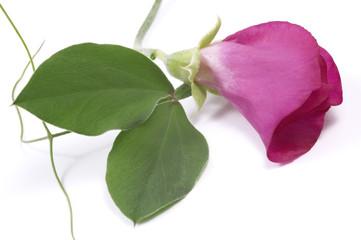 bean. flower and leaf