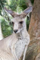 young kangaroo upclose