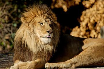 lion pic sleep