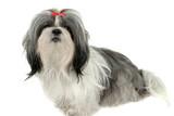 shih tzu puppy 1 poster