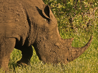 white rhino in african bush