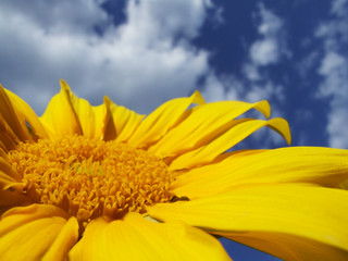 sunflower and blue sky with white clouds