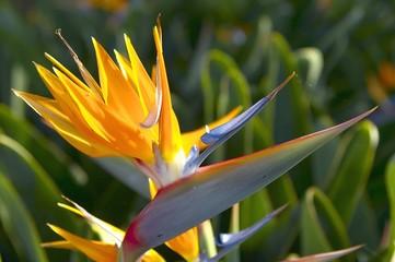 portugal paradise  flower