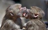 kissing monkeys poster