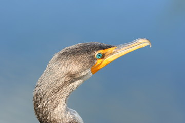 anhinga with gree eye
