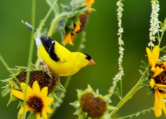 american goldenfinch