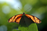 butterfly on the tip of a leaf poster