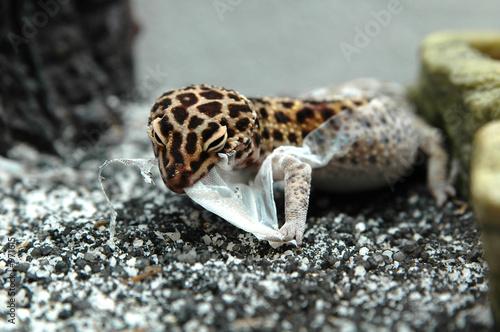 Fotobehang Luipaard leopard gecko shedding eating and pulling skin