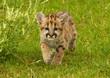 Quadro snow leopard