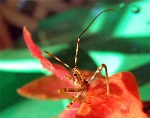 assassin beetle 2.