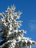 winter fir under snow poster