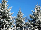 winter fir trees under snow 1 poster