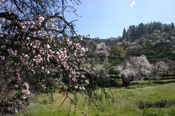 mandelblüte_1