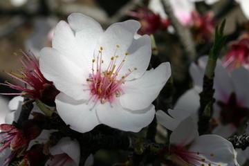 mandelblüte_2