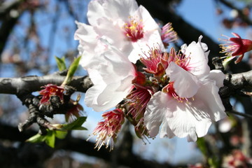 mandelblüte_3
