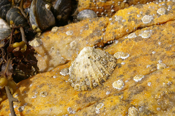 large barnacle