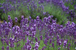 the levender violet field