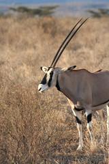 large male oryx