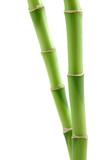 lucky bamboo stems